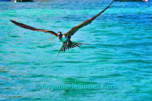 pelican over Anguilla waters
