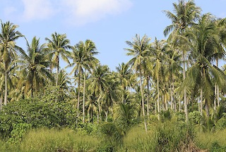 coconut trees to help feed the oor